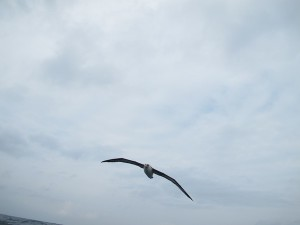 Still trying for a perfect picture of an albatross