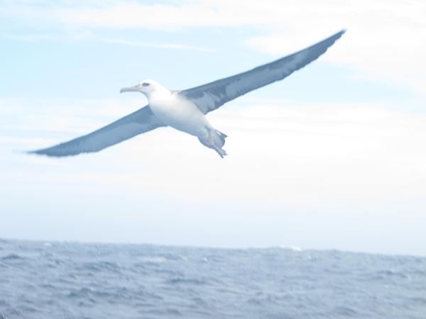 Laysan albatross soaring