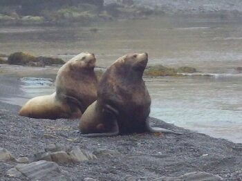 Sea lions make noisy neighbours