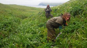 ' Grubbing ' in the burrows for storm petrel chicks