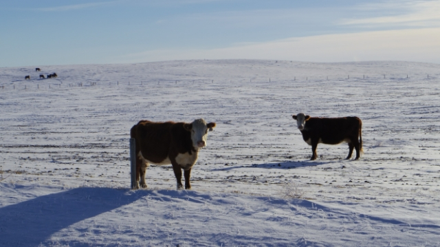 There are more cows than people in the Prairies (probably)