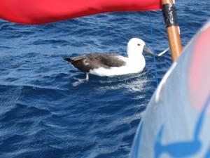 The albatross!